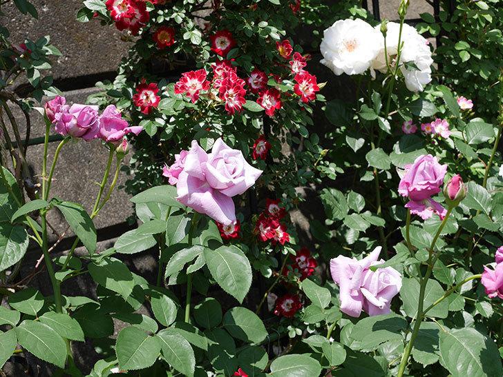 シャルルドゴール(木立バラ)の花がたくさん咲いた。2019年-15.jpg
