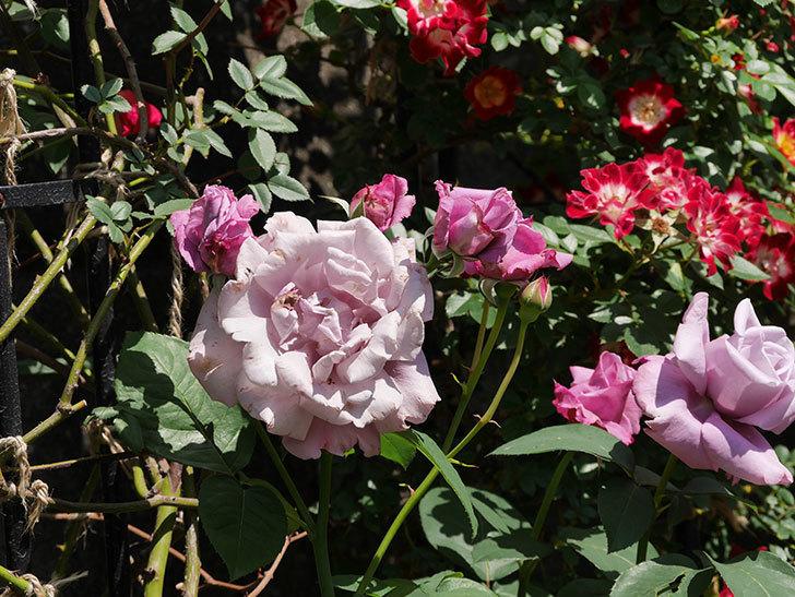 シャルルドゴール(木立バラ)の花がたくさん咲いた。2019年-6.jpg