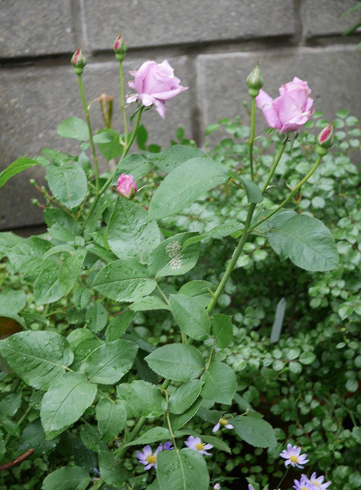 シャルルドゴール(木立バラ)の花が咲いた。2018年-5.jpg