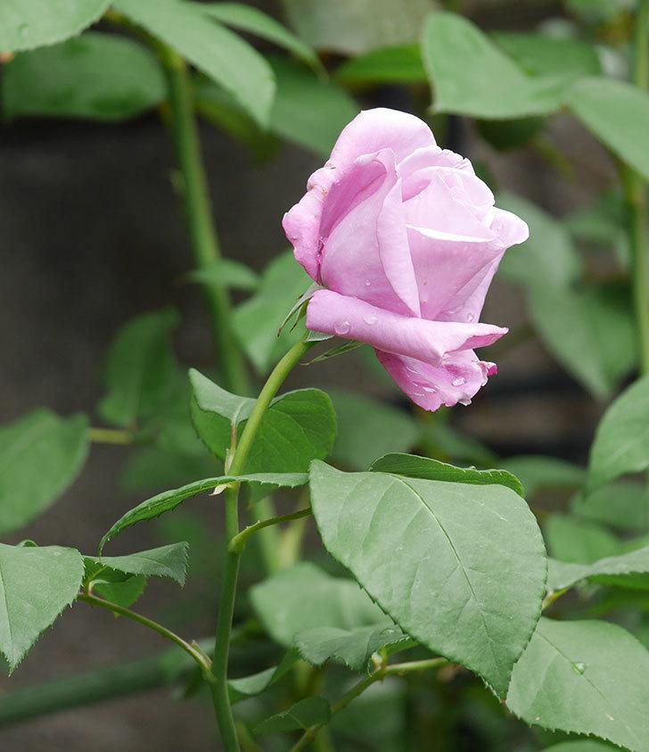 シャルルドゴール(木立バラ)の花が咲いた。2019年-4.jpg