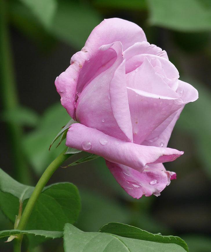 シャルルドゴール(木立バラ)の花が咲いた。2019年-5.jpg