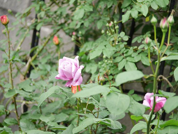 シャルルドゴール(木立バラ)の花が咲いた。2019年-6.jpg