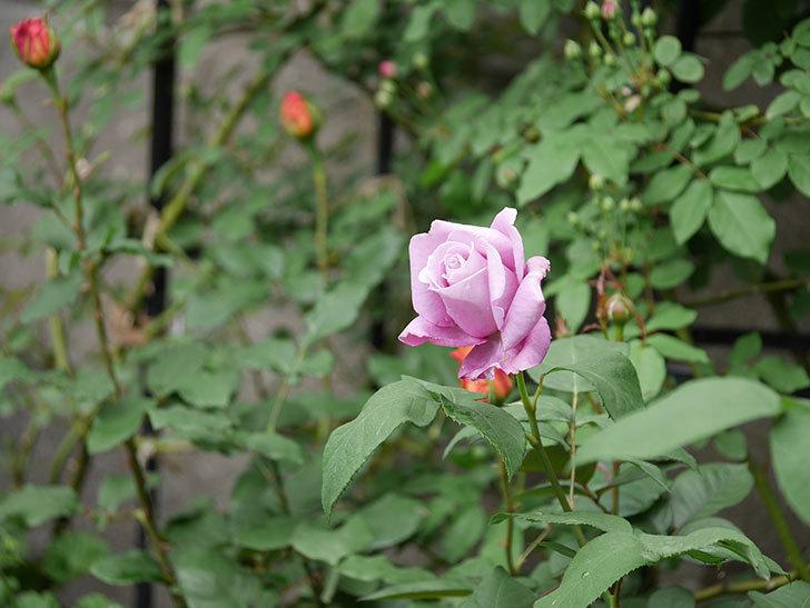 シャルルドゴール(木立バラ)の花が咲いた。2019年-8.jpg