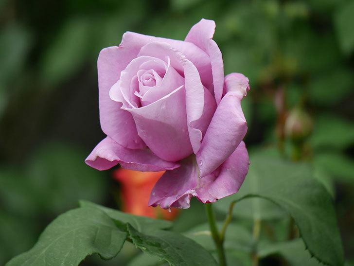シャルルドゴール(木立バラ)の花が咲いた。2019年-9.jpg