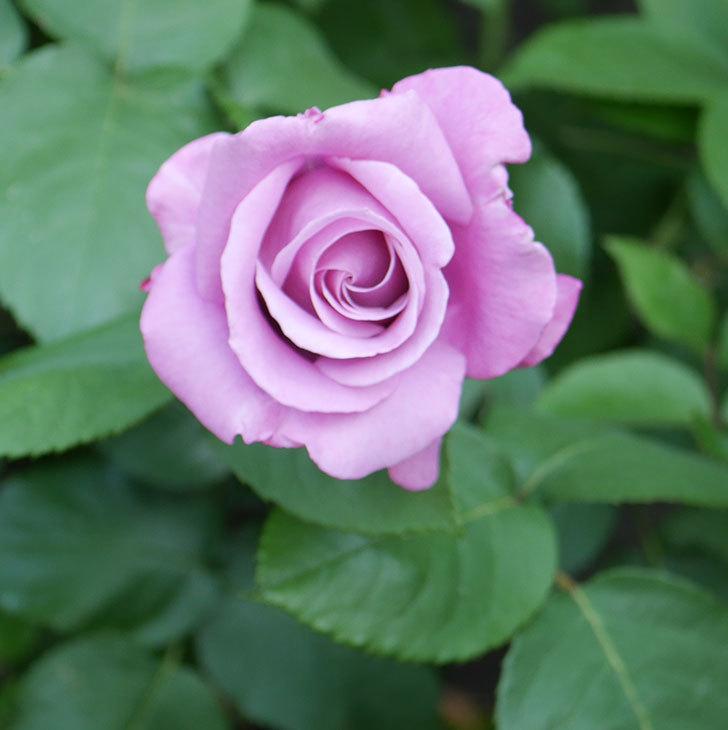 シャルルドゴール(木立バラ)の花が咲いた。2020年-1.jpg