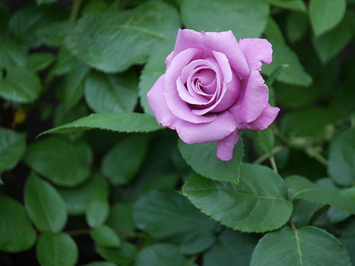シャルルドゴール(木立バラ)の花が咲いた。2020年-3.jpg
