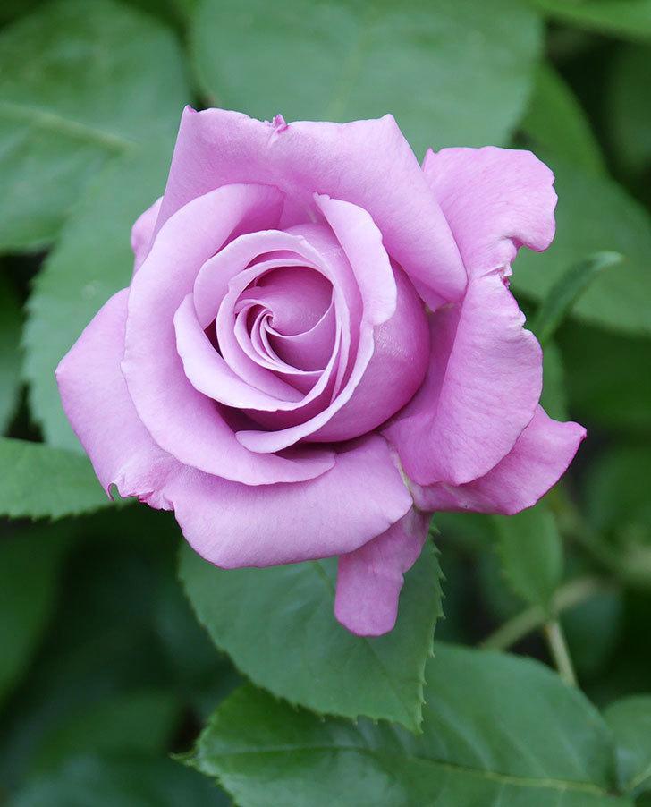 シャルルドゴール(木立バラ)の花が咲いた。2020年-4.jpg