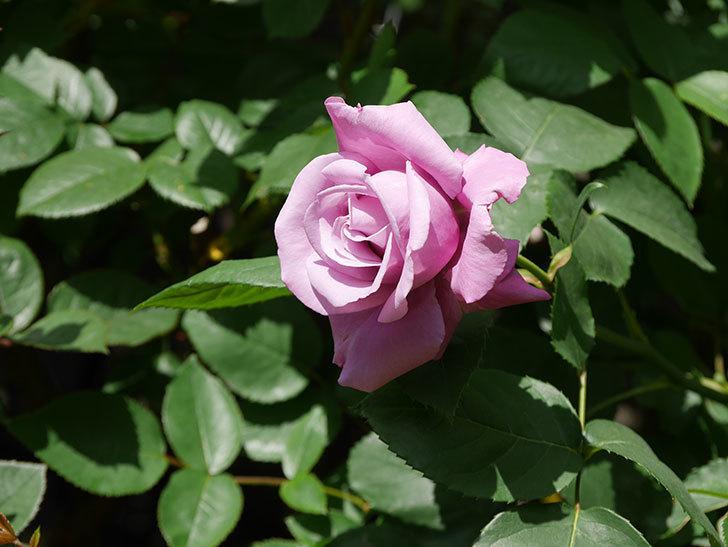 シャルルドゴール(木立バラ)の花が咲いた。2020年-5.jpg