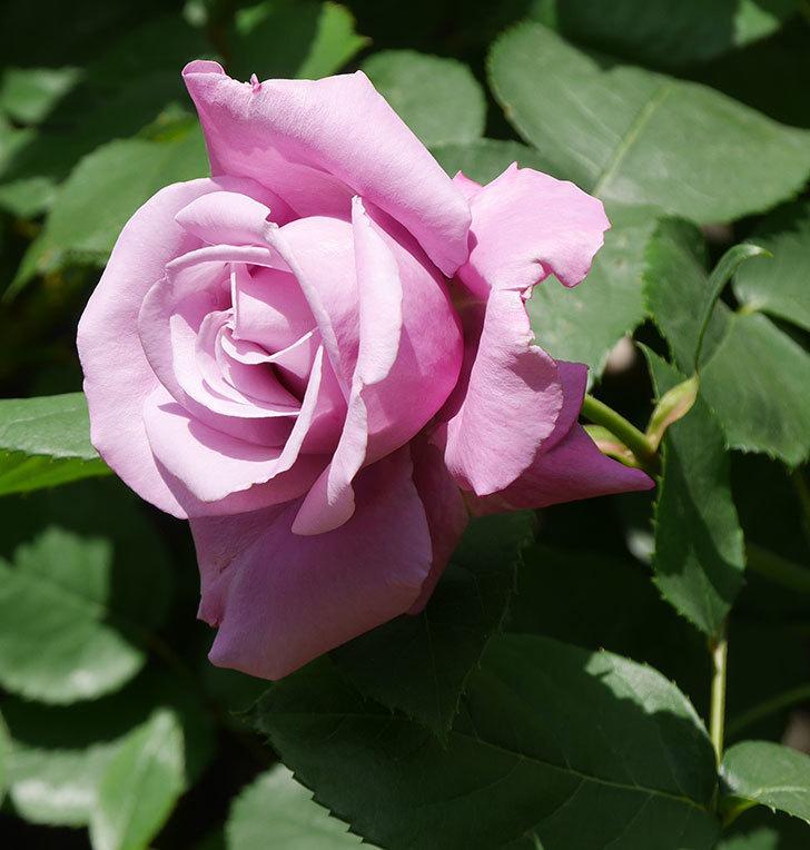 シャルルドゴール(木立バラ)の花が咲いた。2020年-6.jpg