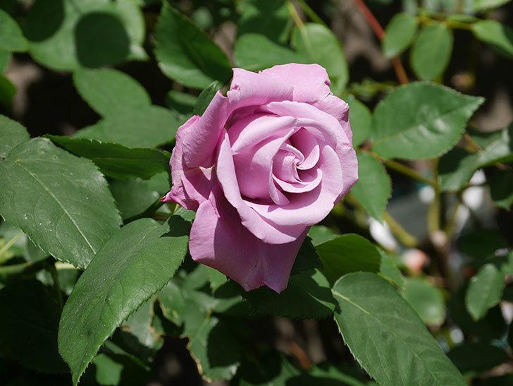 シャルルドゴール(木立バラ)の花が咲いた。2020年-7.jpg