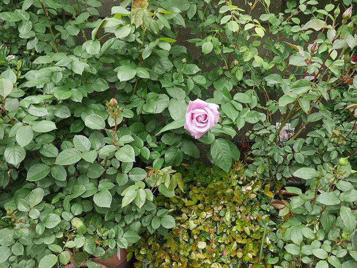 シャルルドゴール(木立バラ)の花が咲いた。2020年-8.jpg