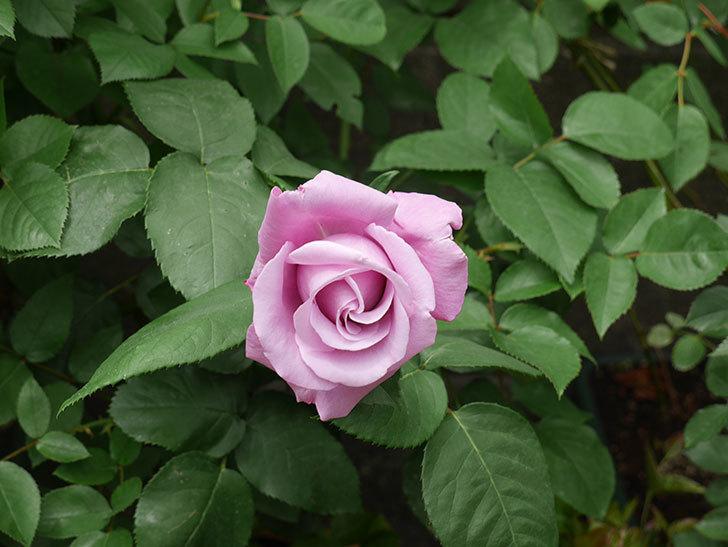 シャルルドゴール(木立バラ)の花が咲いた。2020年-9.jpg