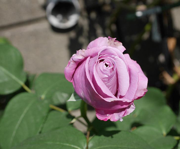 シャルルドゴール(木立バラ)の花が少し咲いた。2019年-1.jpg