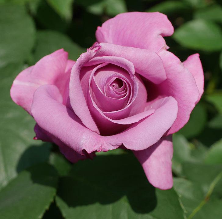 シャルルドゴール(木立バラ)の花が少し咲いた。2020年-11.jpg
