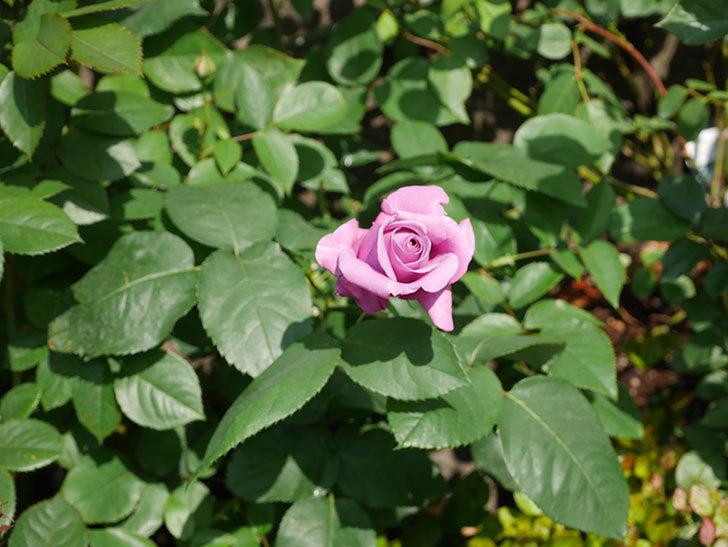 シャルルドゴール(木立バラ)の花が少し咲いた。2020年-12.jpg