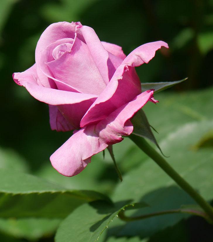 シャルルドゴール(木立バラ)の花が少し咲いた。2020年-3.jpg