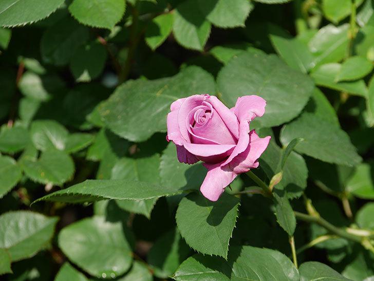 シャルルドゴール(木立バラ)の花が少し咲いた。2020年-4.jpg