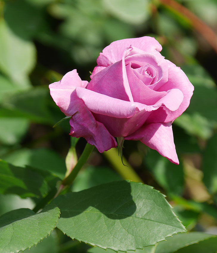 シャルルドゴール(木立バラ)の花が少し咲いた。2020年-6.jpg