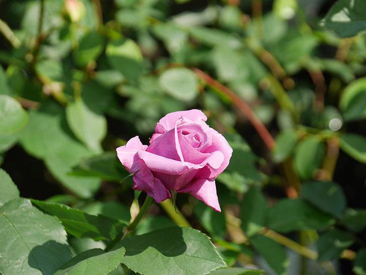 シャルルドゴール(木立バラ)の花が少し咲いた。2020年-7.jpg