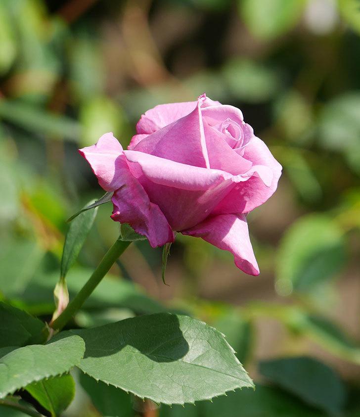 シャルルドゴール(木立バラ)の花が少し咲いた。2020年-9.jpg