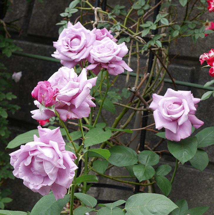 シャルルドゴール(木立バラ)の花が房で咲いた。2019年-2.jpg