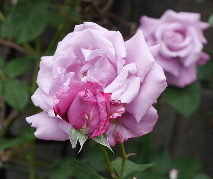 シャルルドゴール(木立バラ)の花が房で咲いた。2019年-3.jpg