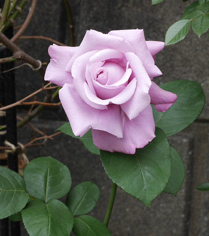 シャルルドゴール(木立バラ)の花が房で咲いた。2019年-4.jpg