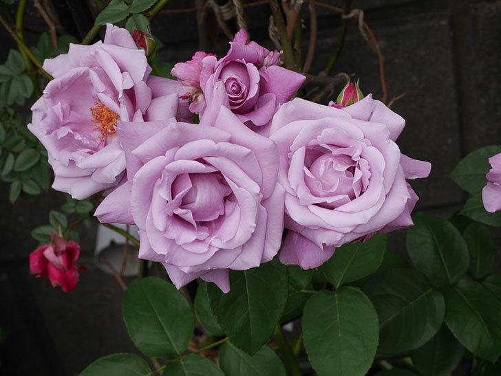 シャルルドゴール(木立バラ)の花が房で咲いた。2019年-5.jpg