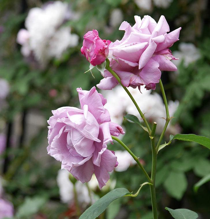 シャルルドゴール(木立バラ)の花が房で咲いた。2019年-6.jpg