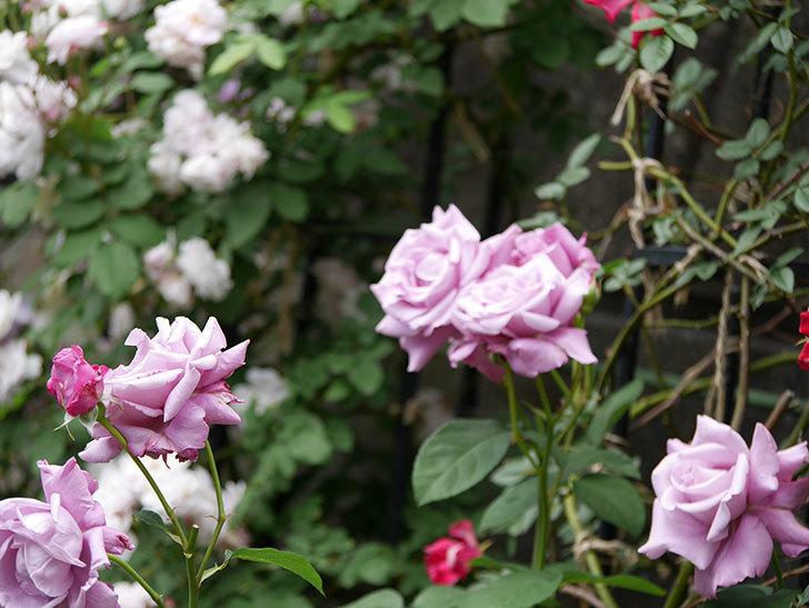 シャルルドゴール(木立バラ)の花が房で咲いた。2019年-8.jpg
