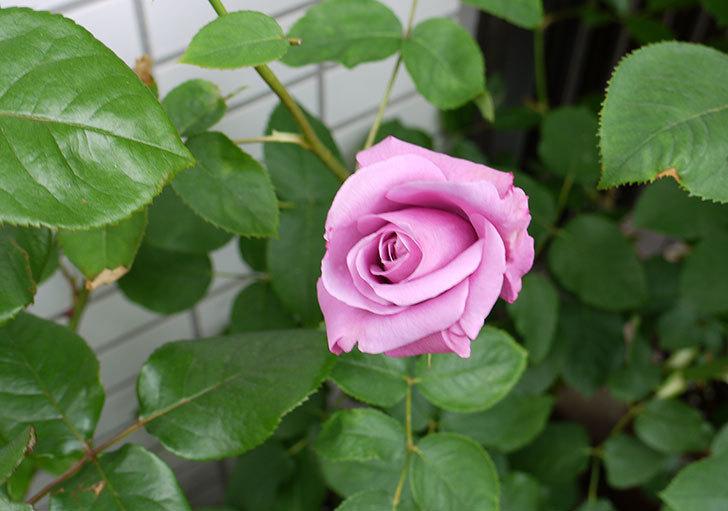 シャルルドゴール(バラ)が咲いた。2015年-1.jpg