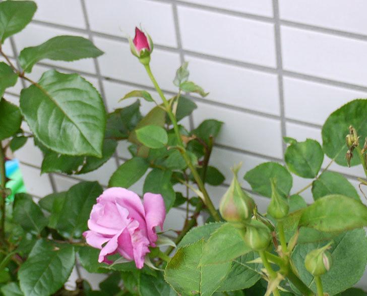 シャルルドゴール(バラ)が咲いた。2015年-2.jpg