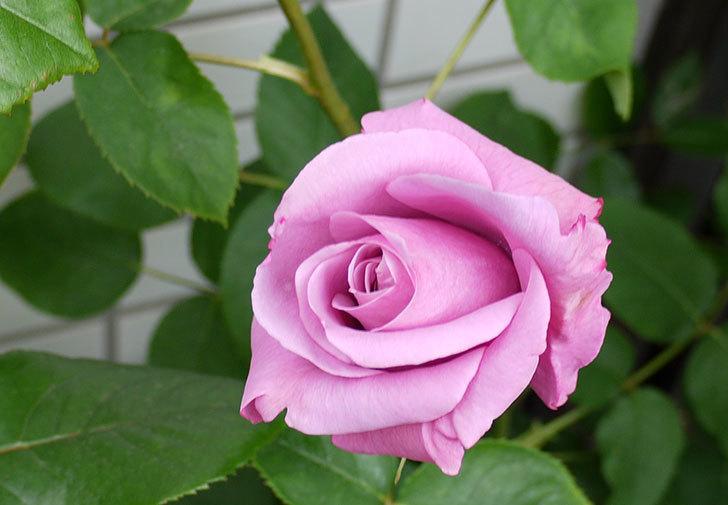 シャルルドゴール(バラ)が咲いた。2015年-3.jpg