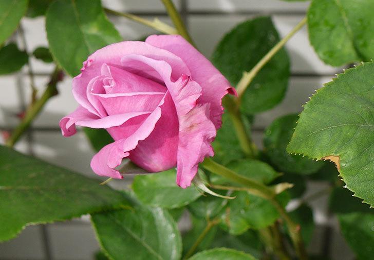 シャルルドゴール(バラ)が咲いた。2015年-4.jpg