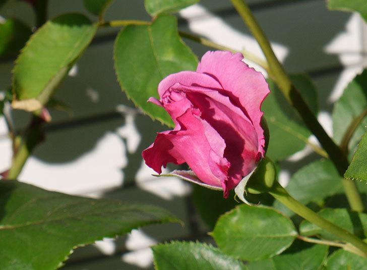 シャルルドゴール(バラ)が咲いた。2015年-5.jpg