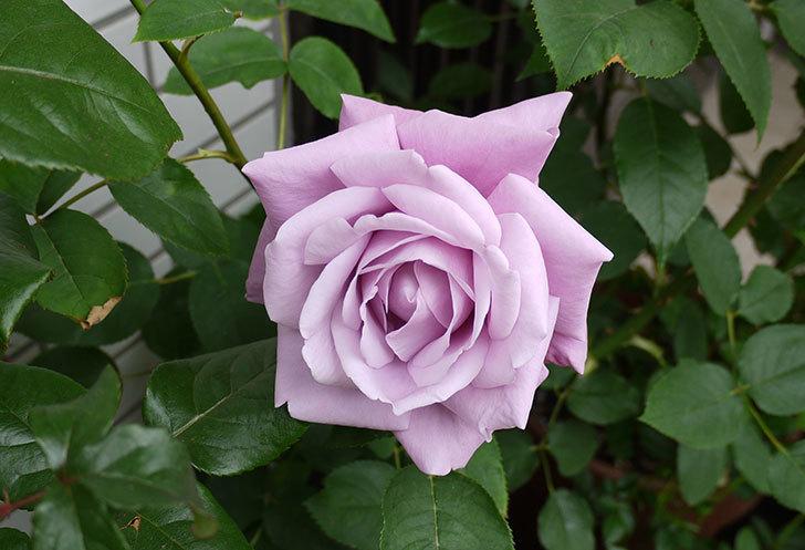 シャルルドゴール(バラ)が大きく咲いた。2015年-1.jpg