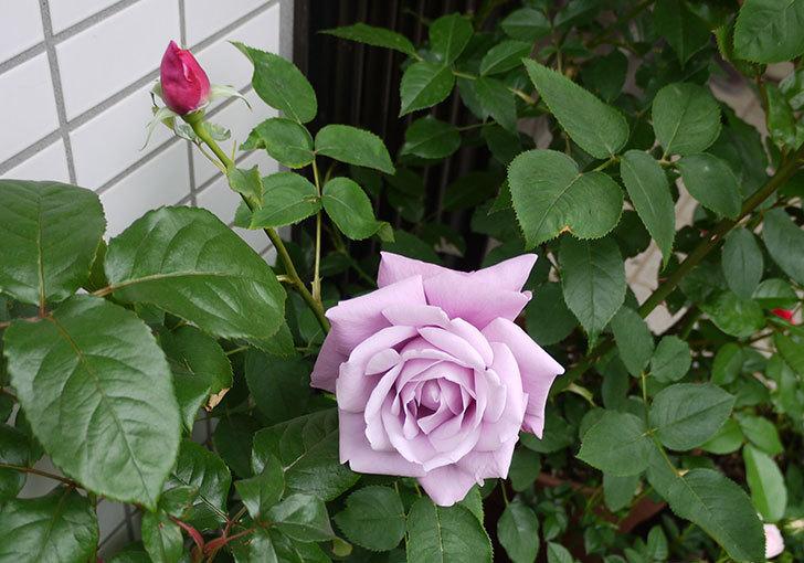シャルルドゴール(バラ)が大きく咲いた。2015年-2.jpg