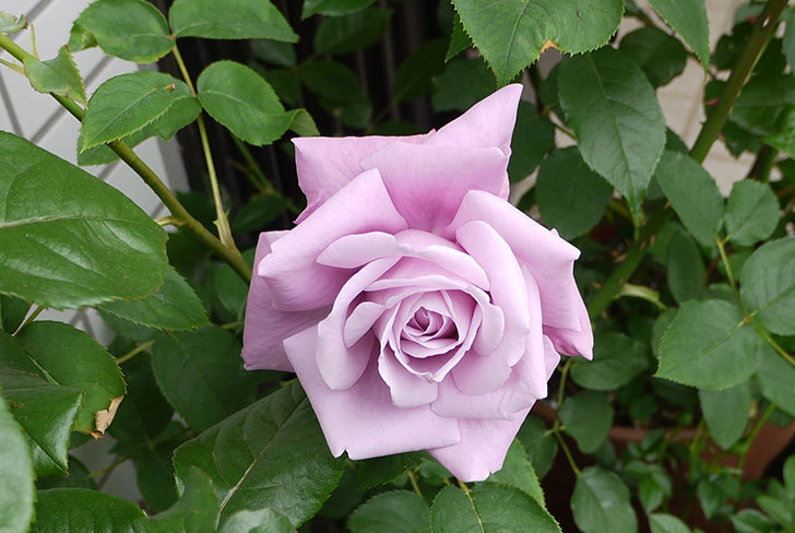 シャルルドゴール(バラ)が大きく咲いた。2015年-3.jpg