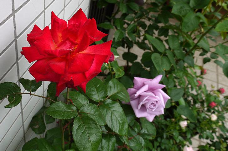 シャルルドゴール(バラ)が大きく咲いた。2015年-4.jpg