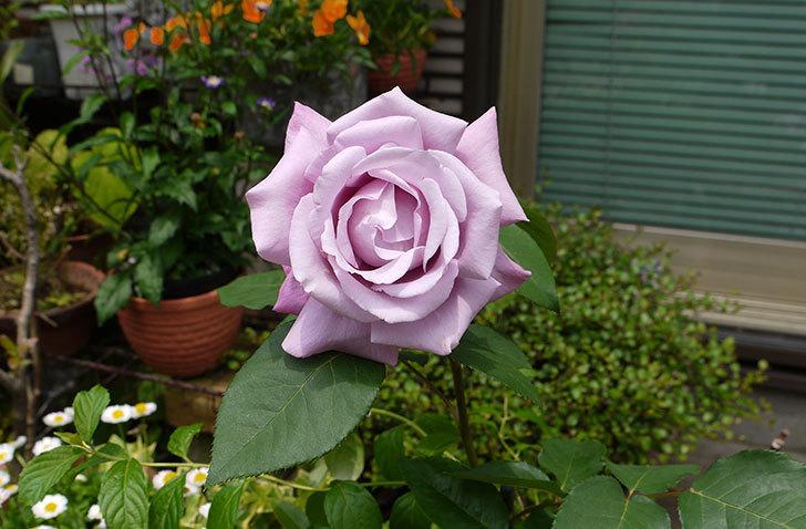 シャルルドゴール(バラ)が綺麗に咲いた1.jpg