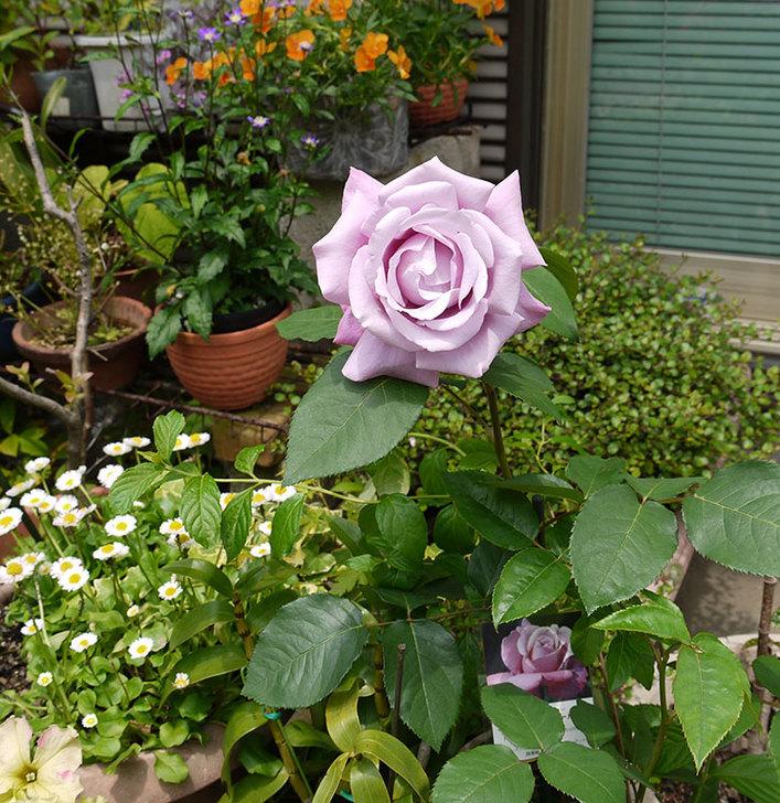 シャルルドゴール(バラ)が綺麗に咲いた2.jpg