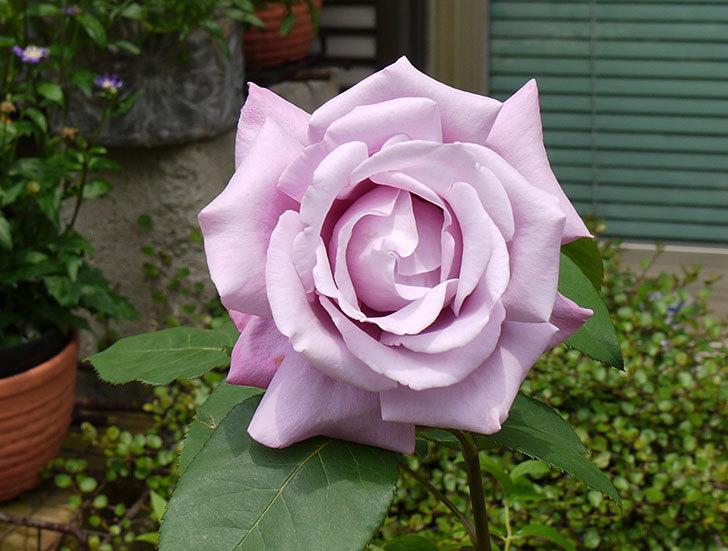 シャルルドゴール(バラ)が綺麗に咲いた3.jpg
