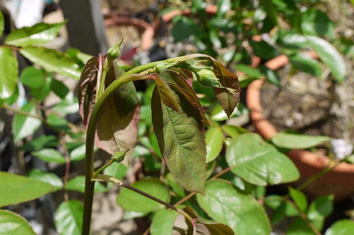 シャルルドゴール(バラ)に粘着くんを使ったら新芽が枯れそうになった1.jpg