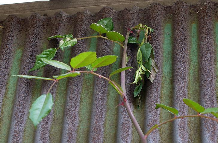 シャルルドゴール(バラ)に粘着くんを使ったら新芽が枯れそうになった5.jpg
