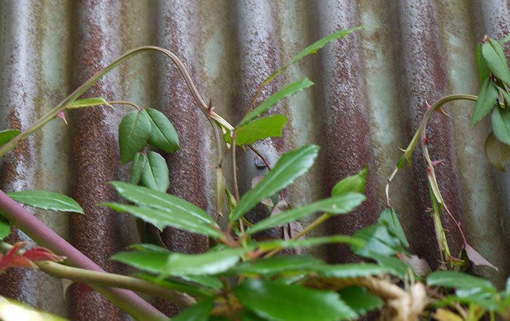 シャルルドゴール(バラ)に粘着くんを使ったら新芽が枯れそうになった6.jpg