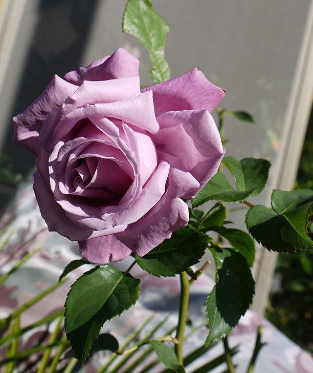 シャルルドゴール(バラ)の2回目の秋花が咲いた。2015年-2.jpg