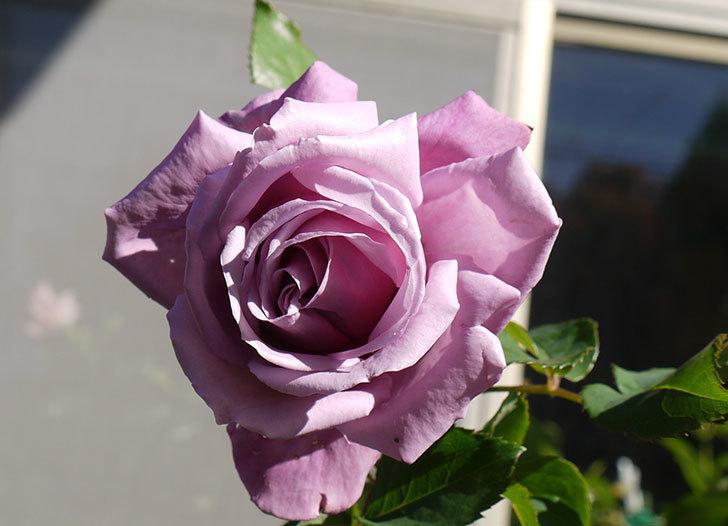 シャルルドゴール(バラ)の2回目の秋花が咲いた。2015年-3.jpg