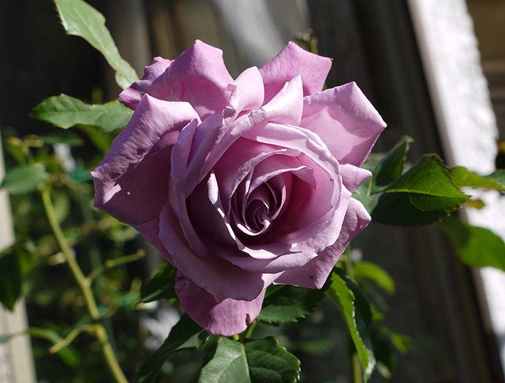 シャルルドゴール(バラ)の2回目の秋花が咲いた。2015年-4.jpg