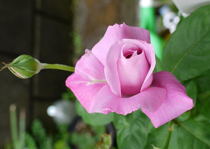 シャルルドゴール(バラ)の2番花が咲き始めた。2015年-1.jpg