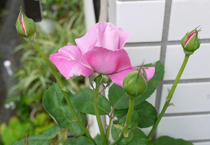 シャルルドゴール(バラ)の2番花が咲き始めた。2015年-2.jpg